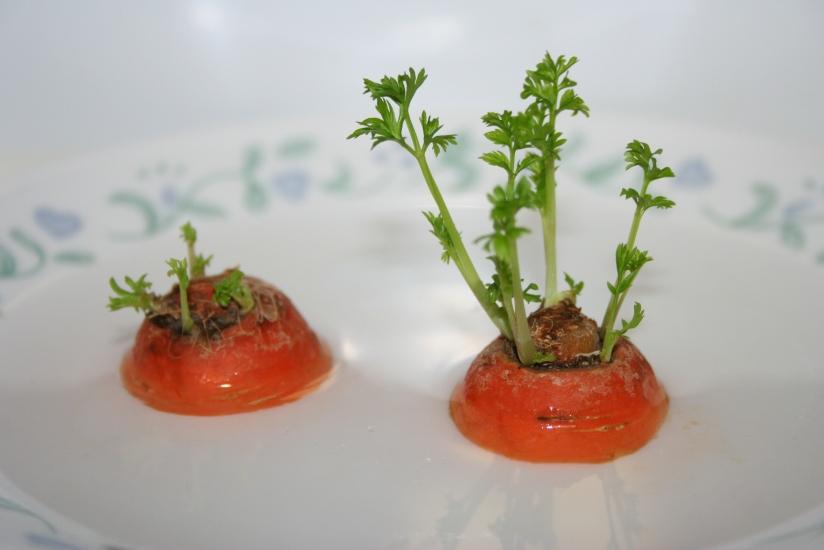 Growing Carrot Greens (28)