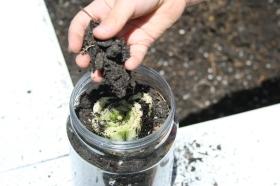 Regrowing Celery in Water (74)