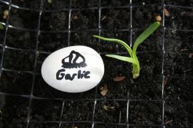 Planting Garlic (16)