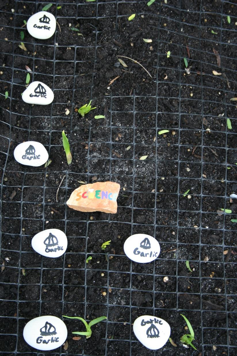 Planting Garlic (20)